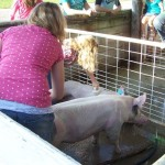 4-H girls washing pigs