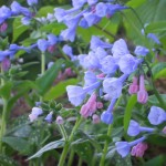 Virginia bluebells with Lungwort