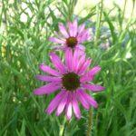 Echinacea (Large) (2) (2)
