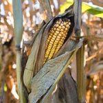 Mycotoxin concerns in 2016 corn crop.