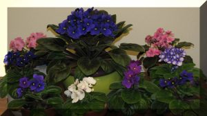 african-violets-pic-for-aamg